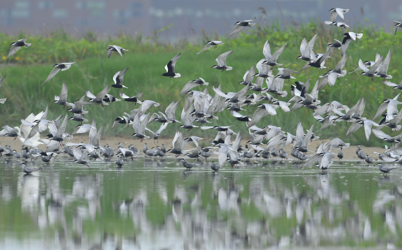 1080515養工-上千隻的鷗科數量龐大、場面壯觀-王俊仁先生提供.jpg