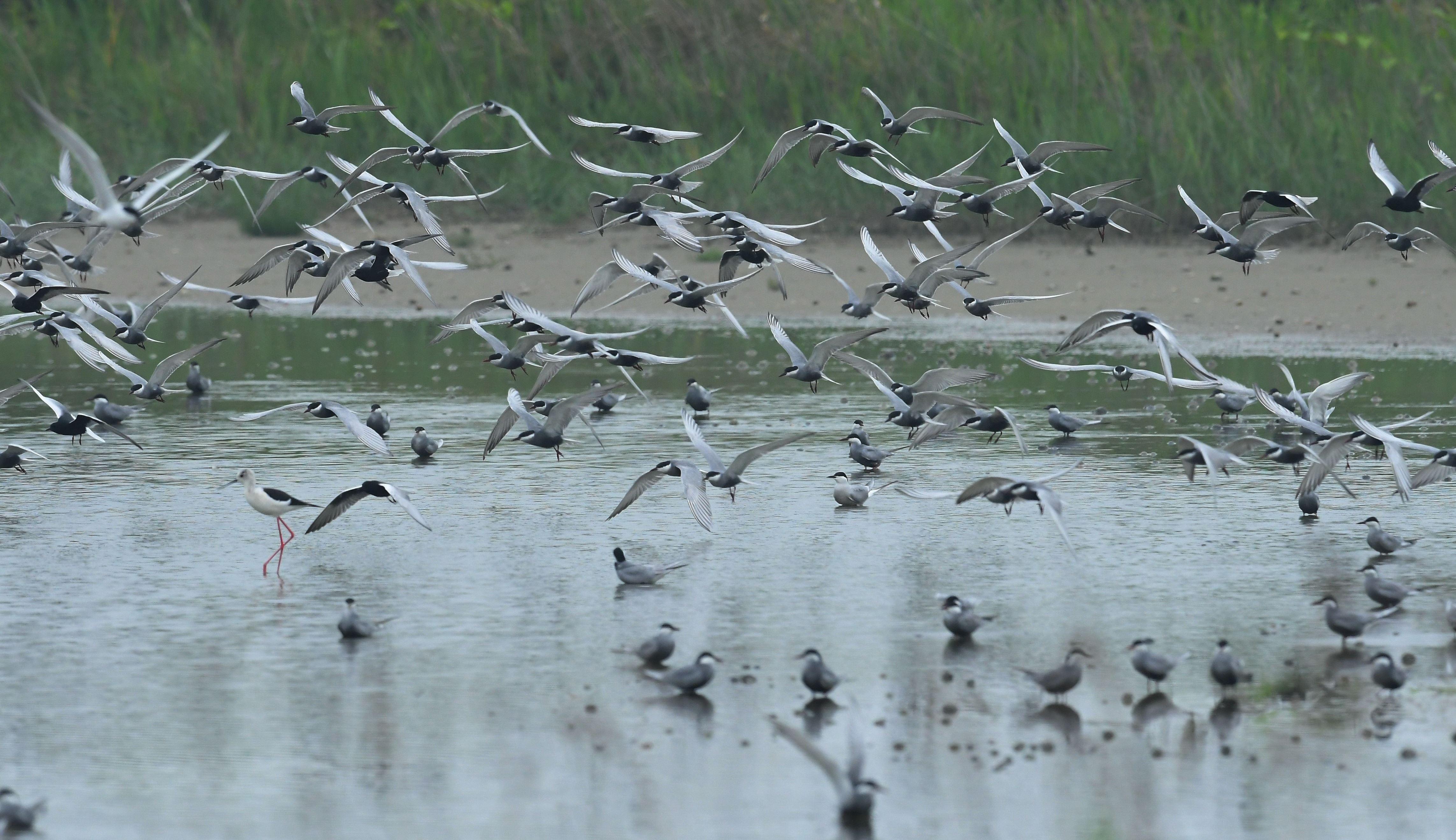 1080515養工-上千隻的鷗科數量龐大、場面壯觀-王俊仁先生提供_(2).jpg